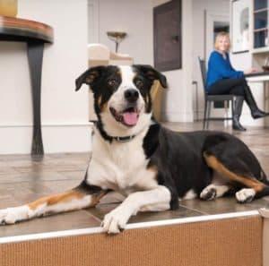 chien grand avec collier de dressage pour chien
