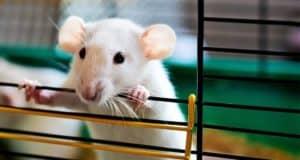 souris dans une cage