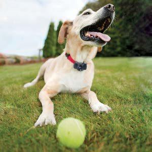 chien avec un collier anti fugue et une balle